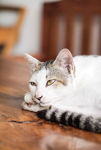 White and grey fur cat laying on brown wooden surface