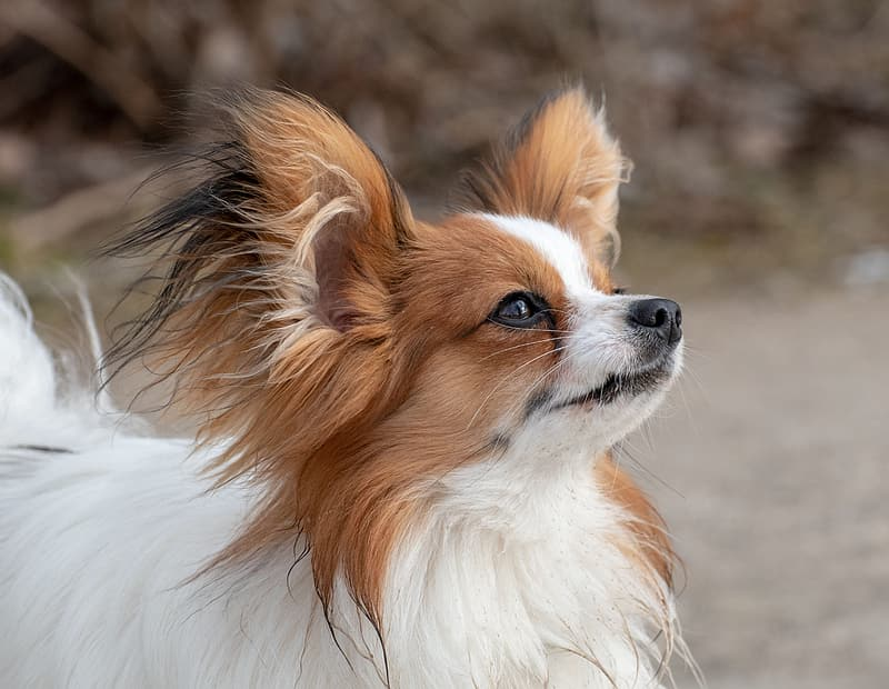 White and brown long haired small dog