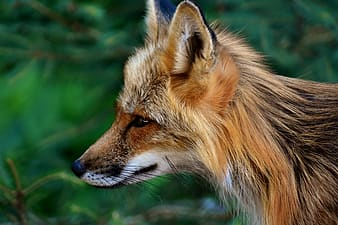 Wildlife photography of a brown fox