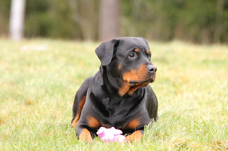 Adult mahogany Rottweiler lying on grass during day