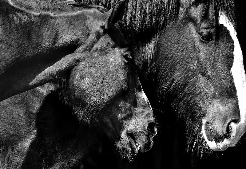 Grayscale photo of horses face