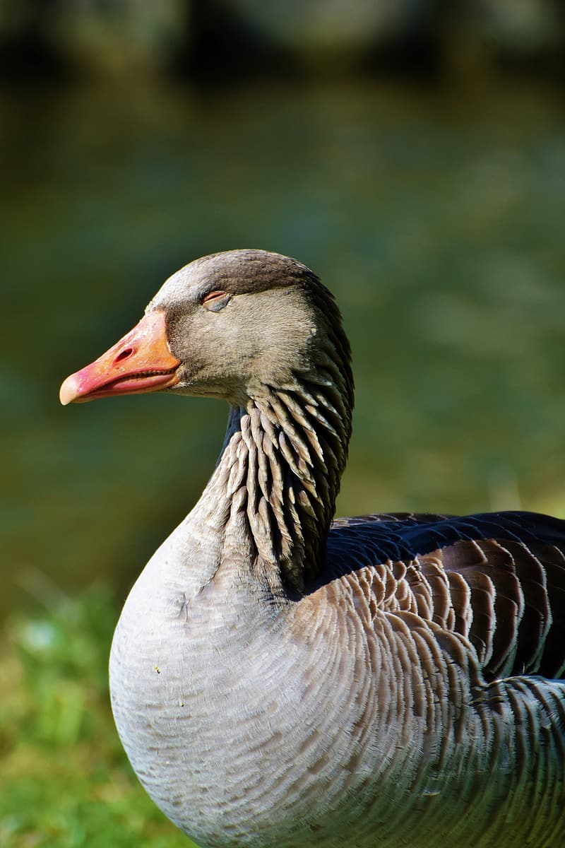 Grey and black duck in close up photography
