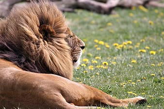 Brown lion laying on green grasses