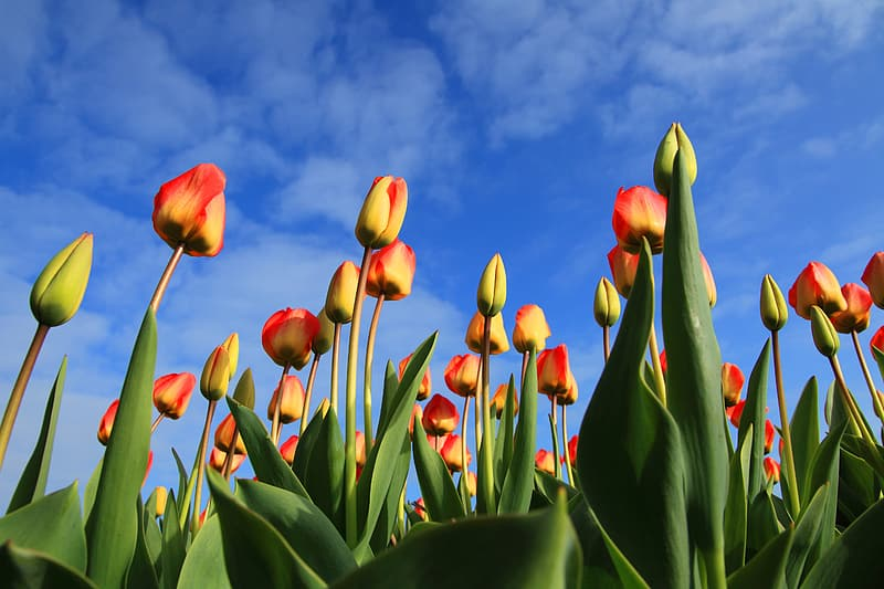 Low angle of red-and-yellow tulip field
