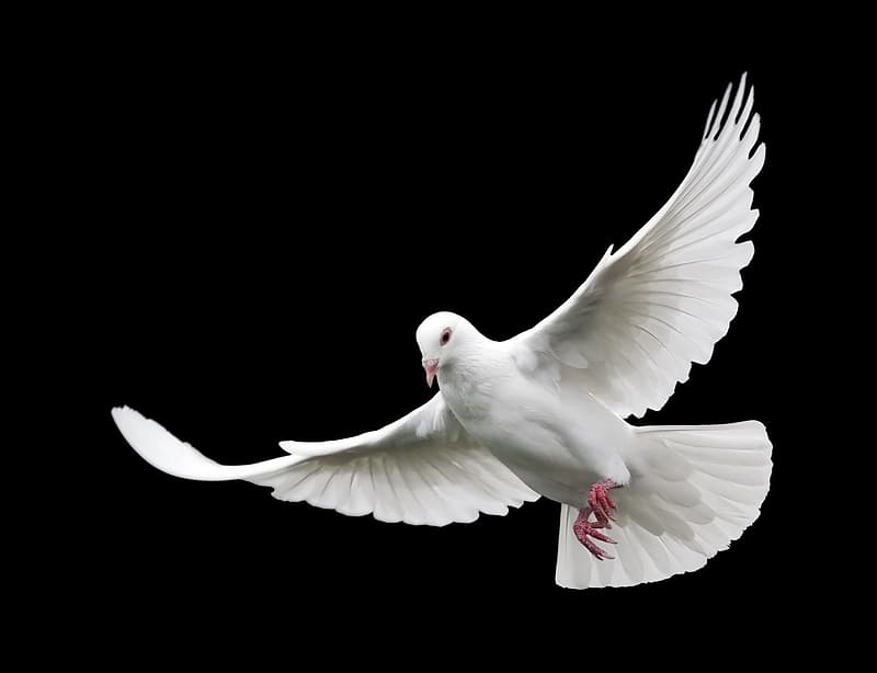 White dove with black background