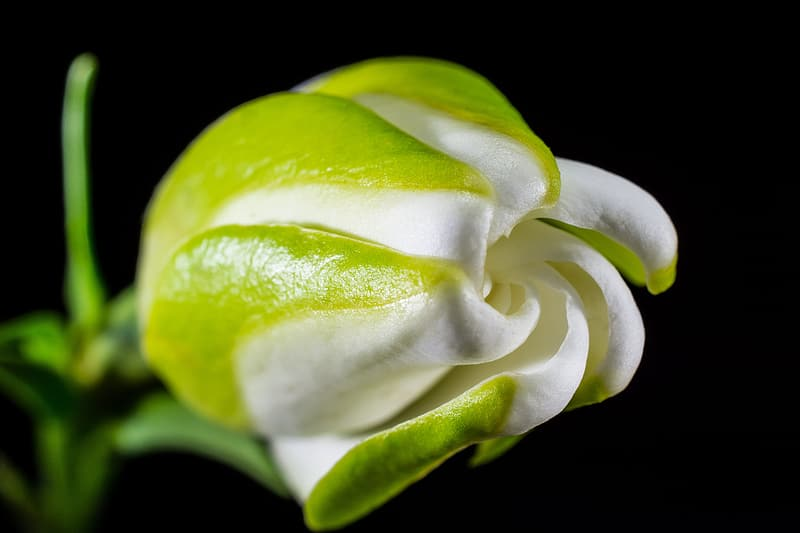 White rose flower selective focus photography