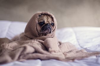Brown pug covered with brown blanket
