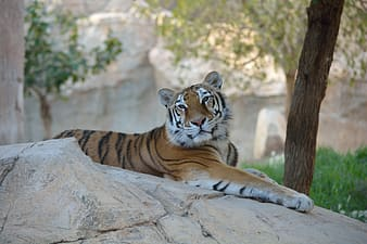 Wildlife photography tiger laying on white rock