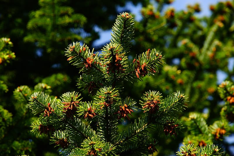 Closeup photo of green pine tree