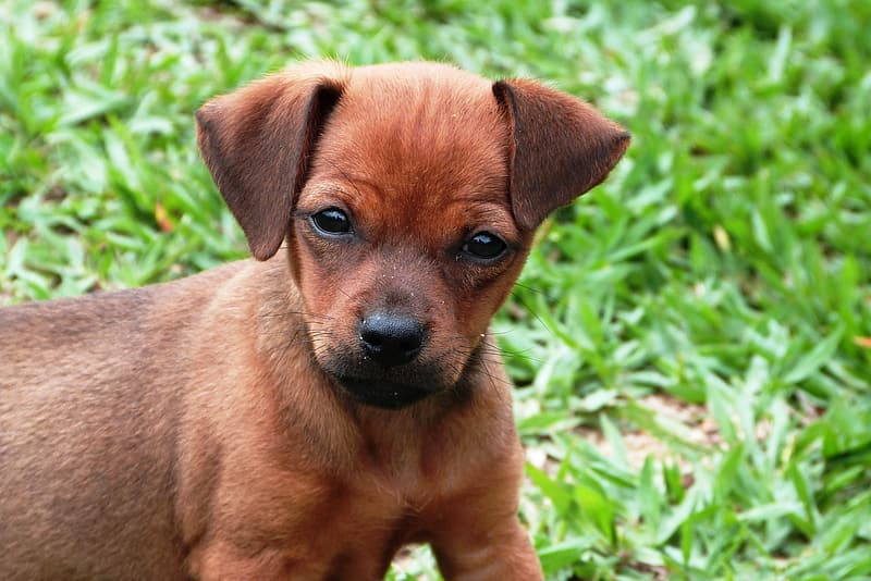 Short-coated brown puppy on grass field