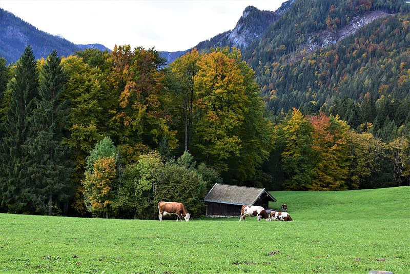 Brown and white cow on green grass field near green trees and mountain during daytime