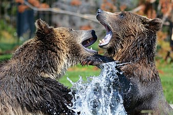 Two grizzly bears on body of water