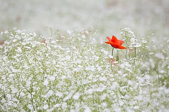Selective focus photography of red petaled flower on white petaled flower field