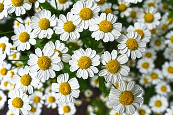 White ox-eyed daisies in bloom