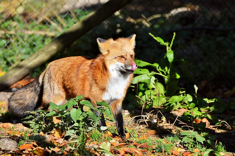 Red fox standing near fence during daytime