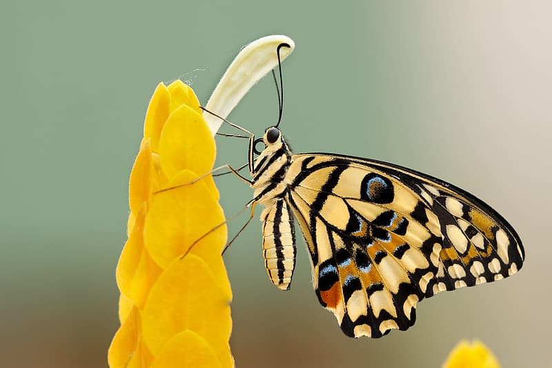 Close-up photography of yellow and black butterfly on yellow petaled flower
