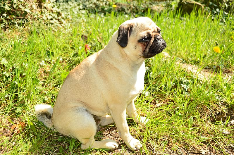 Adult fawn pug on green grass