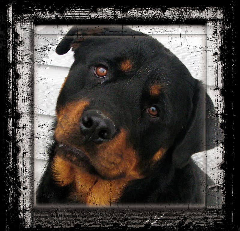 Adult black and tan rottweiler