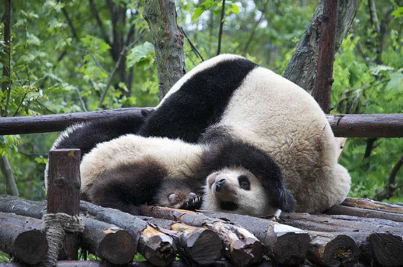 White and black panda on wooden logs