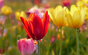 Shallow focus photography of red and yellow flowers