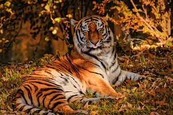 Tiger lying on brown grass during daytime