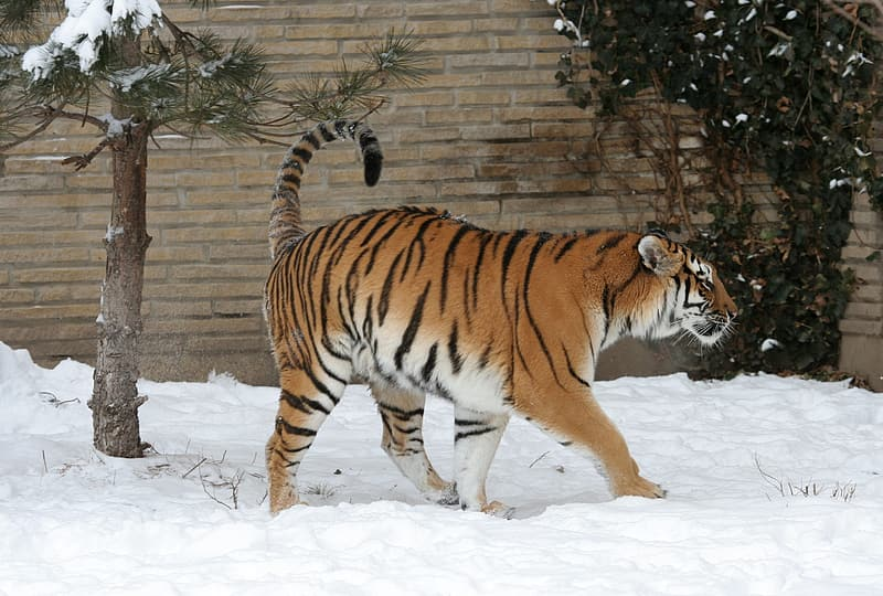 Tiger walking on snow covered ground