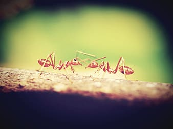 Shallow focus photography of two brown ants
