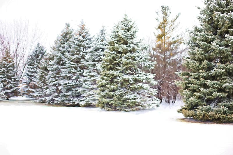 Tall green trees covered snows