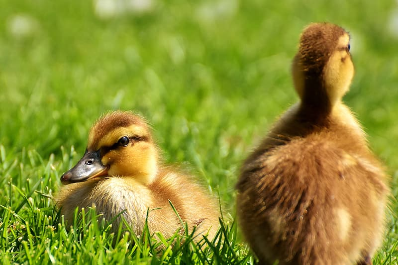 Two yellow-and-brown ducklings on grass