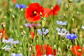Blue and red flower field