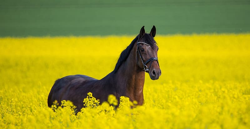 Brown horse on yellow flower field during daytime