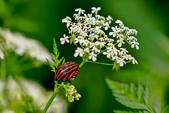 Closeup photo of red and black winged insect perched on Queen Anne's lace flower