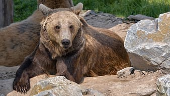 Two brown bears lying beside rock