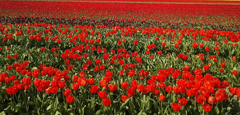 Bed of red petaled flowers