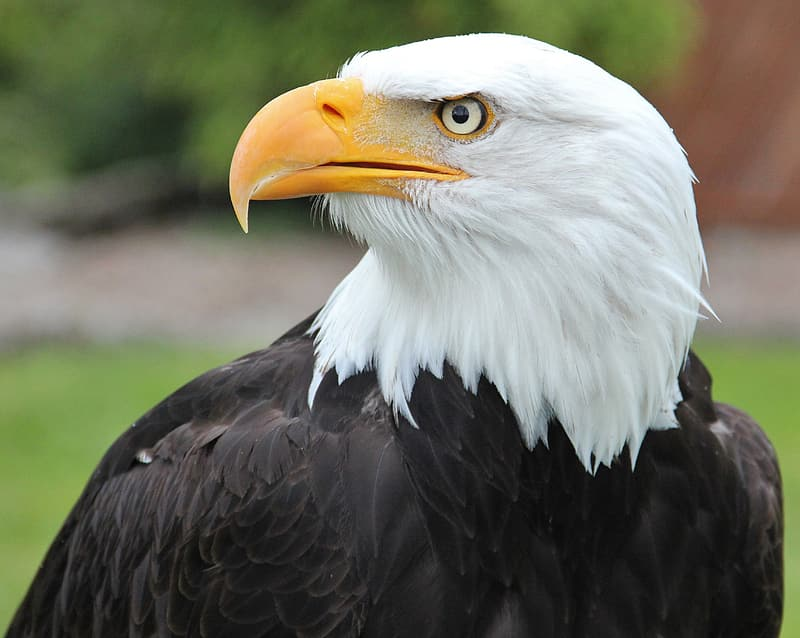 Bald eagle in shallow focus photography