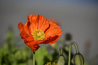 Red poppy flower in closeup photography