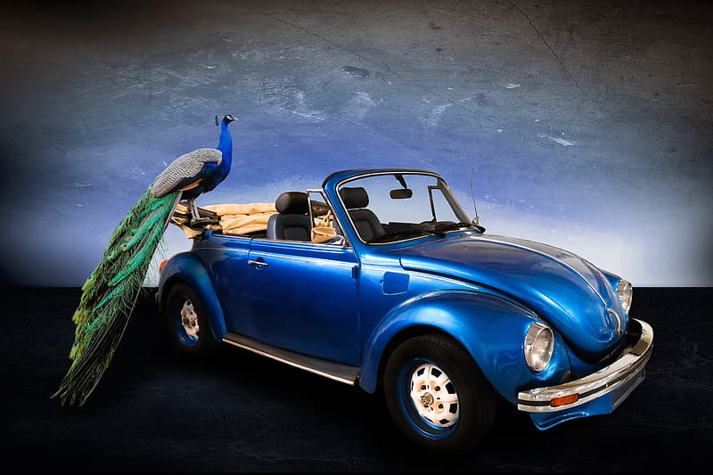 Blue Volkswagen Beetle and peacock
