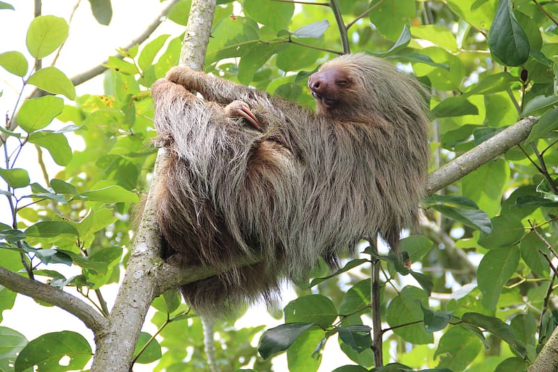 Gray sloth on top of tree branch