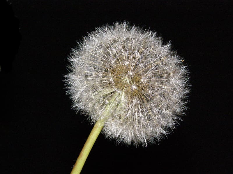 Close-up photo of white dandelion flowers