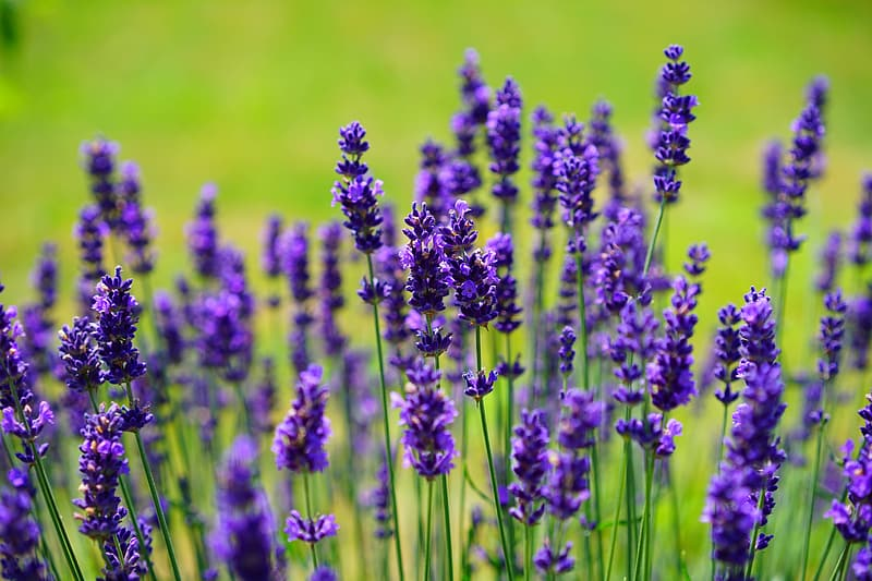 Shallow focus photography of purple lavenders