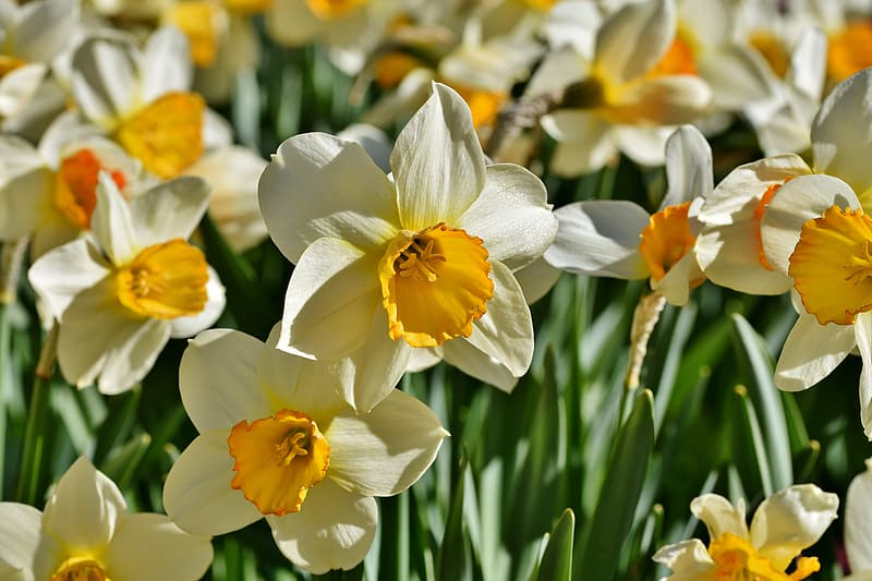 Yellow and white daffodils in bloom during daytime