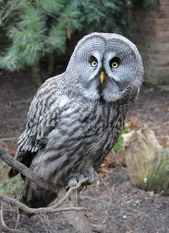 Gray owl on branch