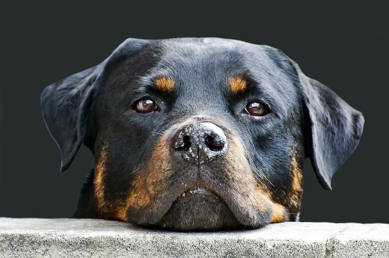 Adult black and mahogany Rottweiler