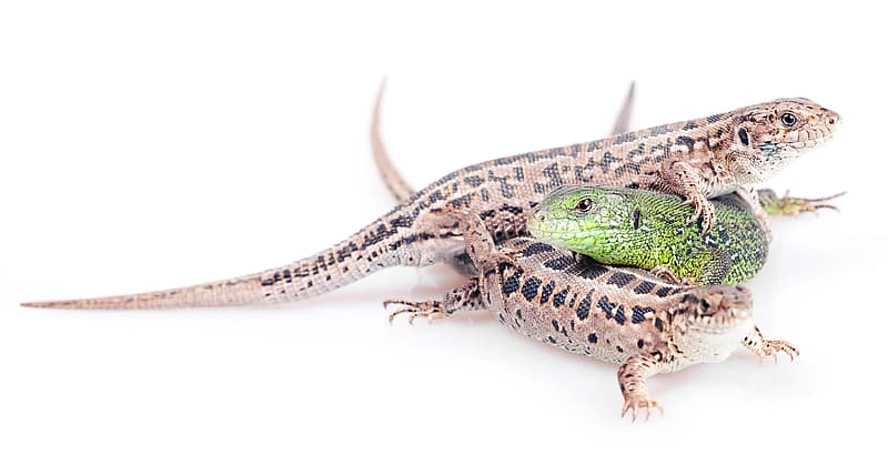 Green and black lizard on white background
