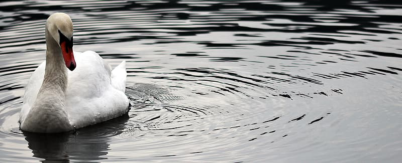 Photo of white swan on body of water