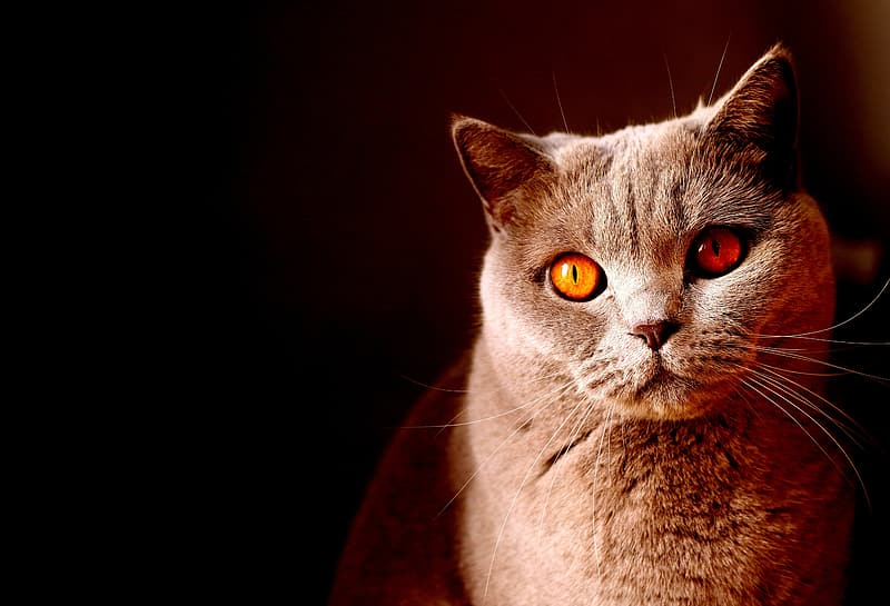 Yellow-eyed short-fur grey cat