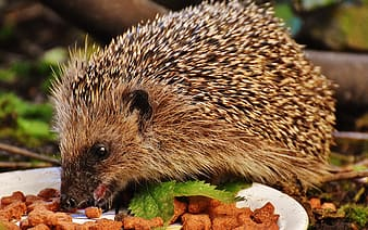 Hedgehog eat cook food close up photography