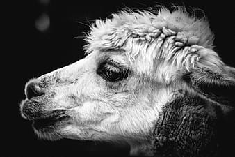 Sheep grayscale photo