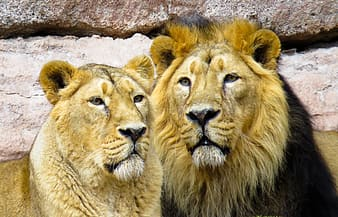 Lion with lioness