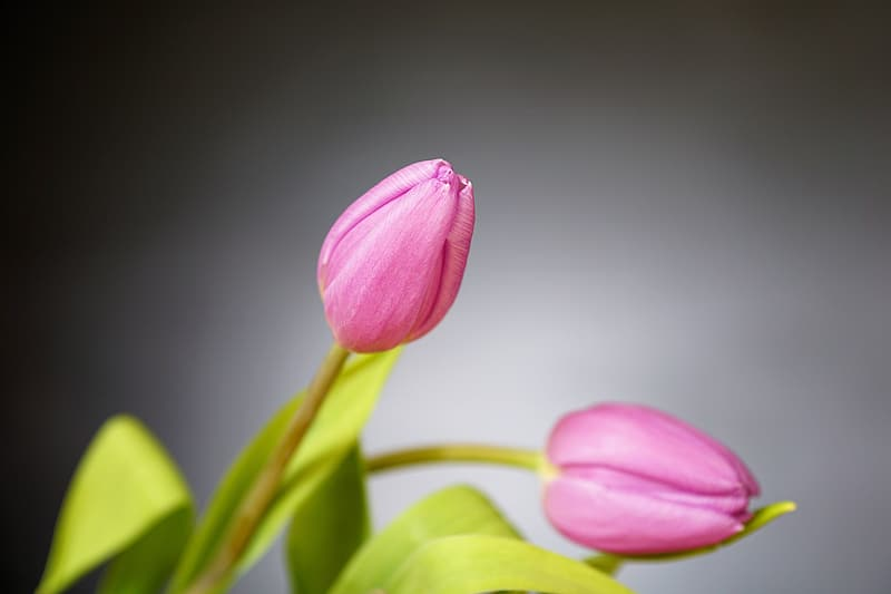 Close up photography of pink tulips